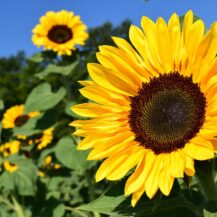 Sunflower Seed Oil (Helianthus Annus)
